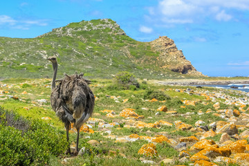 A Wild Ostrich at the Cape of Good Hope, a section of Table Mountain National Park, in South Africa.