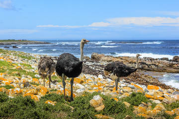 Three common ostriches on the pebble beach of Cape of Good Hope Nature Reserve in Cape Peninsula National Park, South Africa.