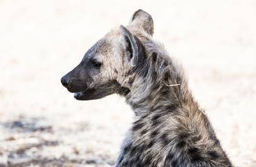 Closeup Portrait of a Hyena Pup in Sunshine