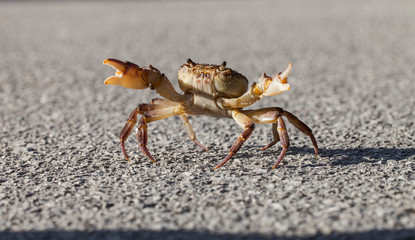 Crab on the street