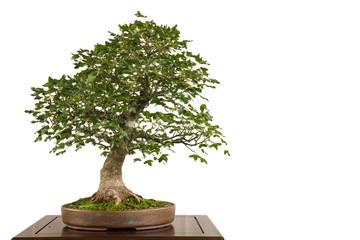 Felsen-Ahorn (Acer monspessulanum) als Bonsai Baum
