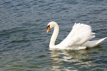 Swan - Cygnus