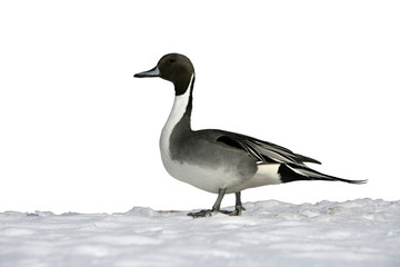 Fotoväggar - Northern pintail, Anas acuta