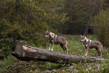 intrigue chez les loups