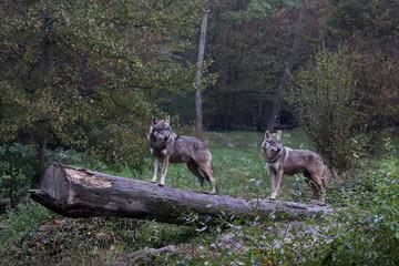les loups alpha