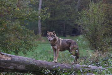 loup sur le tronc