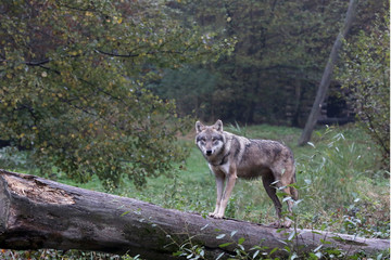 loup sur un tronc