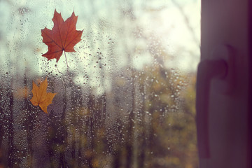 when the outside golden autumn/ three maple leaf clung to the window after the rain