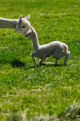 Baby alpaca and her mother | Oregon