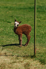 Cute baby alpaca | Oregon