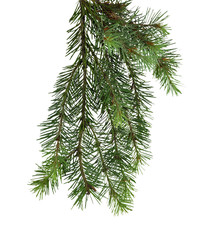 Fir tree isolated without shadow. Decor elements.