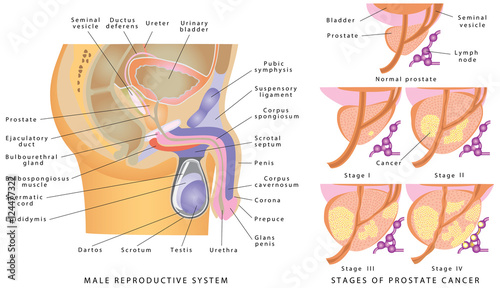 Male Genitourinary System Anatomy Of The Male Reproductive System