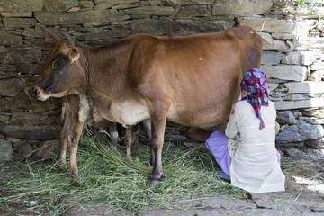 Himachali woman milking a cow in Shimla, Himachal Pradesh, India.