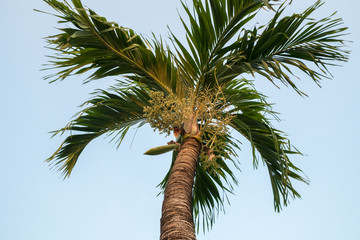 Betel nut Palm tree palm