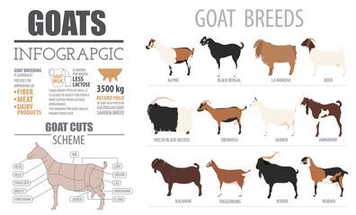 Goat breeds infographic template. Animal farming. Flat design