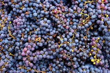 autumn harvest blue grape varieties