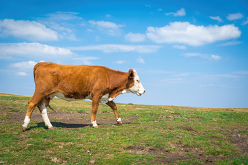 Brown cow on a background of green grass and blue sky