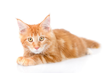 Sad maine coon cat lying in front view. isolated on white