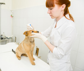 veterinarian dripping drops to the puppy eye in clinic