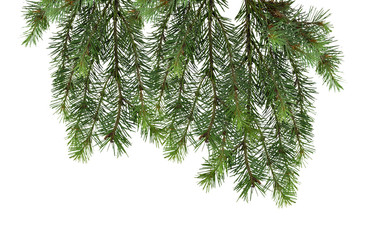 Fir tree isolated without shadow. Elements of the festive decor.