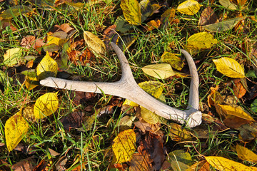 Wall Mural - antler of deer lying among the colorful fallen leaves