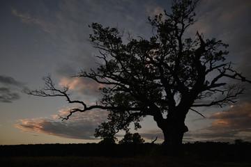 Sylwetka starego dębu rogalińskiego na tle wieczornego nieba. Słońce już zaszło.  Chmury lekko rozjaśnione słońcem zza horyzontu. Nokturn.