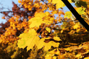 Wall Mural - twig of maple tree with bright yellow leaves enlightened with the sun