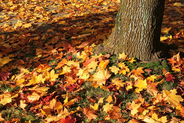 Wall Mural - plenty of fallen bright yellow maple leaves covering the lawn under the tree