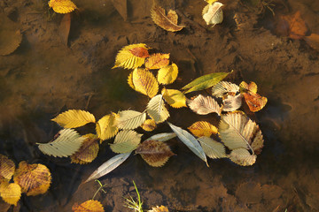 Wall Mural - yellow leaves of alder and willow fallen into the puddle of water