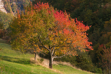 Ciliegio in autunno con le foglie colorate