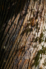 Shadows of leaves on the diagonally banded trunk of a chestnut tree
