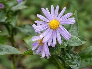 Michaelmas daisy flowers after rain.