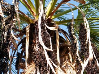 Or Yehuda the Euterpe Oleracea fruits 2010