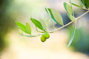 Olives on olive tree branch