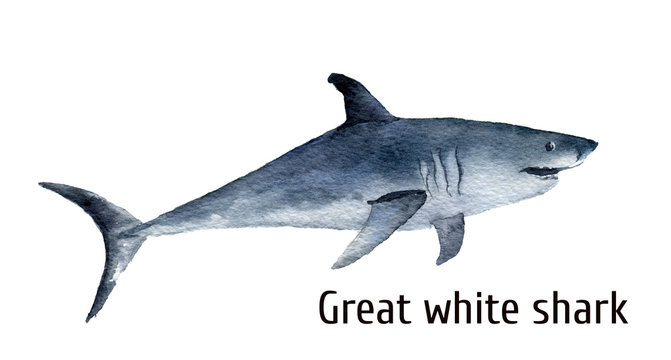 Watercolor great white shark. White death shark isolated on white background. For design, prints, background, t-shirt