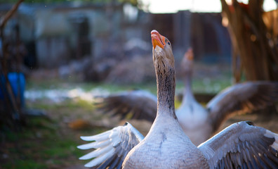 portrait of a goose on a farm, agresive attitude
