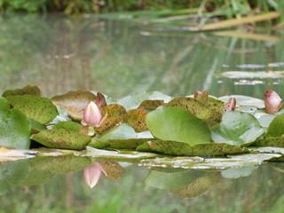 Seerose im Spiegelbild