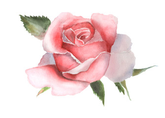 Watercolor pink rose on white handmade drawing.