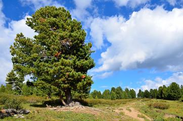 Большой кедр на Алтае летом