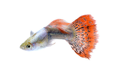 A guppy fish isolated on white background