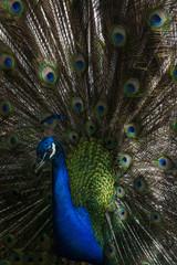 A majestic peacock