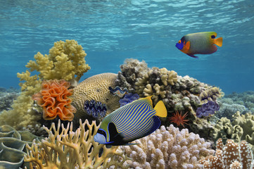 Blue-face Angelfish (Pomacanthus xanthometopon). Also known as Y
