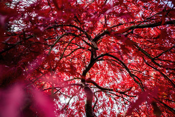 Twisted Japanese Maple Trees with Vibrant Fall Color Leaves