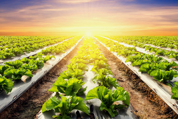 lettuce plant on field vegetable and agriculture sunset and ligh