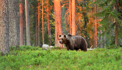 brown bear at sunset in forest