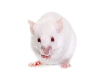 white mouse in studio