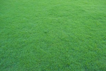 Green Grass in nature for background and texture