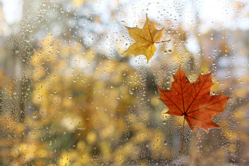 weather characteristic autumn/ raindrops and fallen maple leaves on the window
