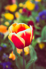 Red & Yellow Tulip at Floriade