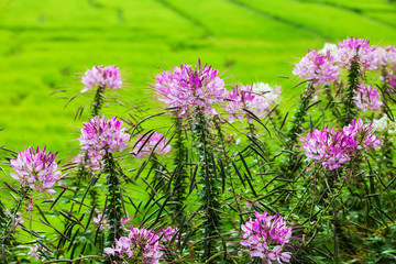 Colorful flowers in nature at rice field